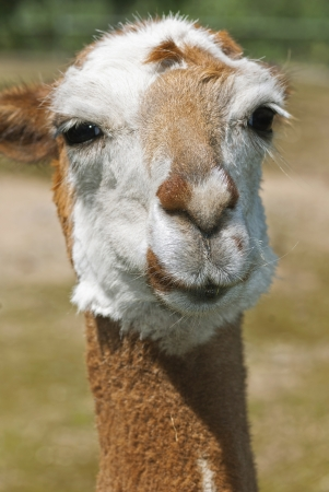 Brown lama looking into the camera Stock Photo - 17275756