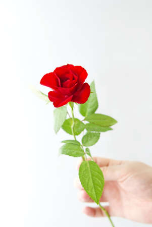 man s: Man s hand holding a small red rose, white background Stock Photo