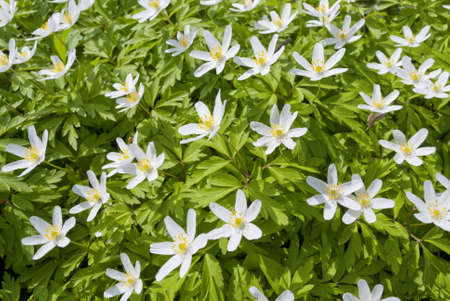 windflower: Anemone nemorosa, early-spring flowering plant in the genus Anemone in the family Ranunculaceae, native to Europe, also known as wood anemone, windflower, thimbleweed, and smell fox