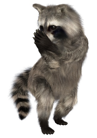 3D digital render of an amazing animal raccoon isolated on white background Stock Photo
