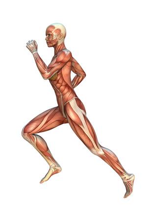 흰색 배경에 고립 된 근육지도와 여성 그림의 3D 디지털 렌더링