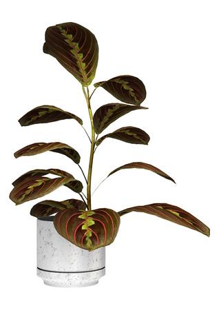 3D digitaal geeft van een maranta of gebedinstallatie in een bloempot die op witte achtergrond wordt geïsoleerd terug