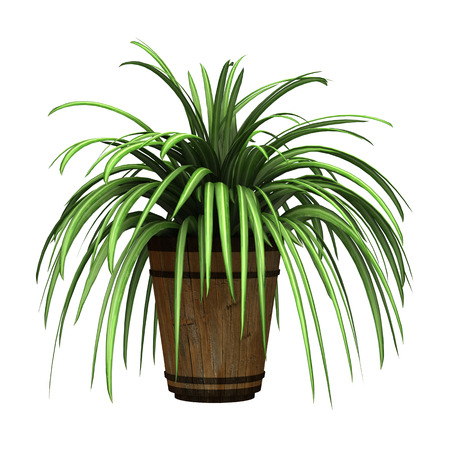 3D digital render of a spider plant in a flower pot isolated on white background Imagens