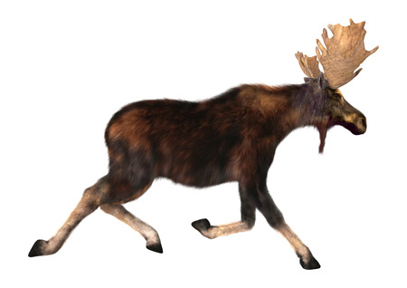 3D digital render of a  running moose (North America) or Eurasian elk (Europe), or Alces alces, isolated on white background Banque d'images