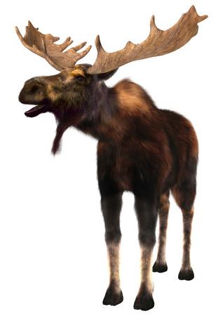 3D 디지털 흰색 배경에 고립 된 사슴 (북미) 또는 유라시아 엘크 (유럽), 또는에 Alces alces, 렌더링