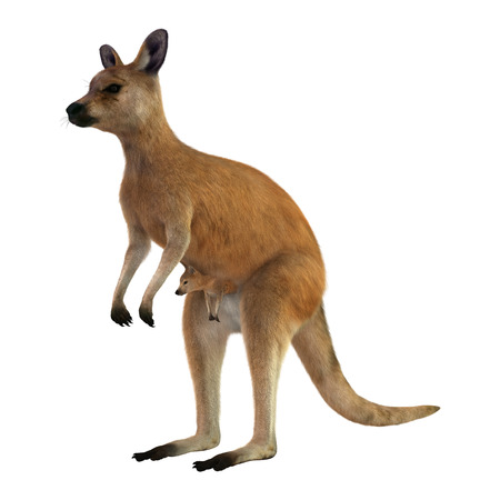 3D digital render of a red kangaroo caring a cute joey in a pouch isolated on white background Zdjęcie Seryjne