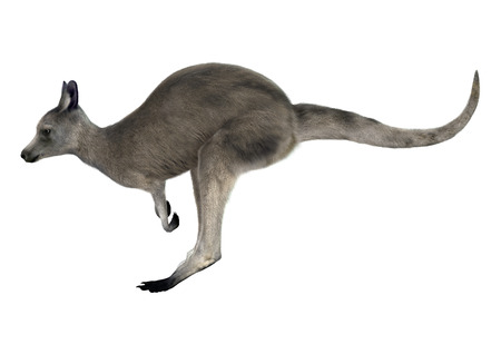 3D digital render of an Eastern grey kangaroo or Macropus giganteus or great grey kangaroo isolated on white background