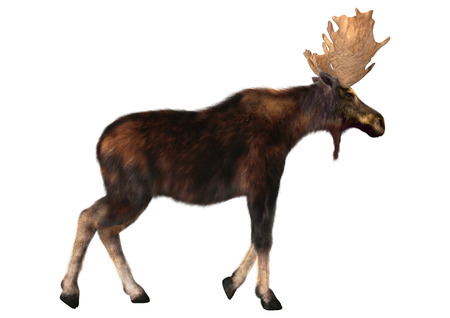 3d digital render of a male moose and a calf isolated on white
