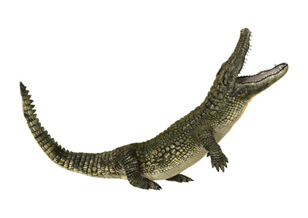 3D digital render of an American alligator or Alligator mississippiensis isolated on white background 스톡 콘텐츠