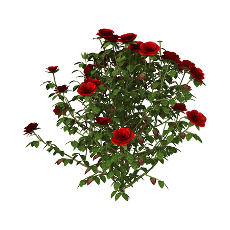 3D digital render of a red rose bush isolated on white background 版權商用圖片