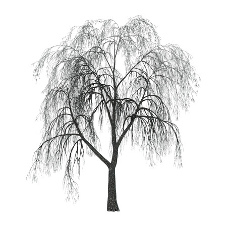 Weeping willow or sallow or osier isolated on white background