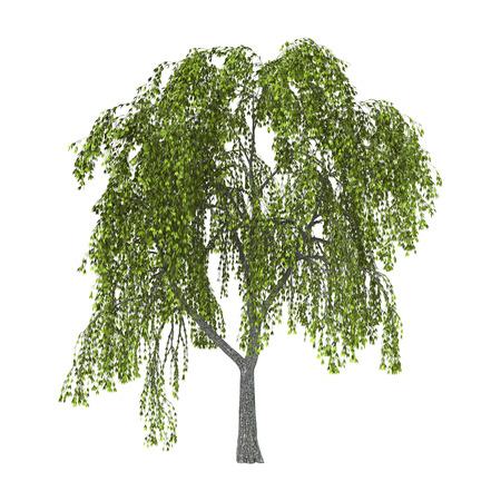 Grüne Weide oder fahl oder Weidenrute auf weißem Hintergrund