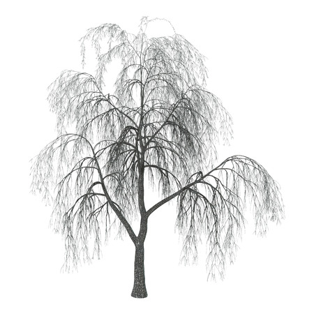 3D 3D Illustration of a weeping willow or sallow or osier isolated on white background