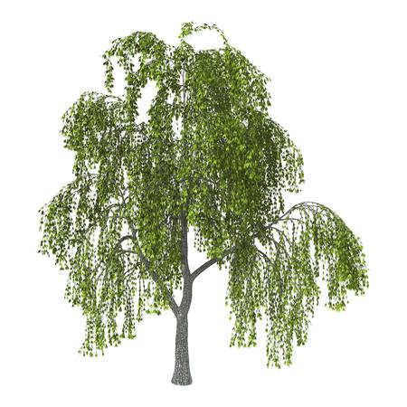 3D illustratie van een groene wilg of vaal of katwilg op een witte achtergrond