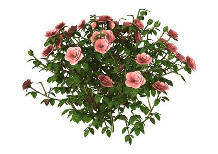 3D-afbeelding van een roze roos struik op een witte achtergrond Stockfoto