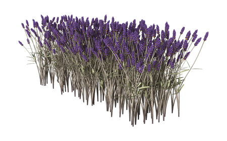 3D illustration of lavender flowers isolated on white background Stok Fotoğraf