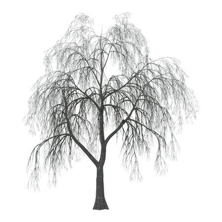 3D Illustration of a weeping willow or sallow or osier isolated on white background Imagens