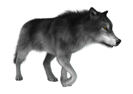 3D Illustration of a gray wolf walking isolated on white background Reklamní fotografie