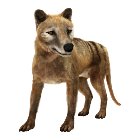 3D rendering of a thylacine isolated on white background Banco de Imagens