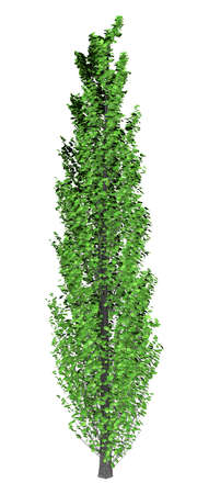 3D rendering of a green poplar tree isolated on white background 版權商用圖片