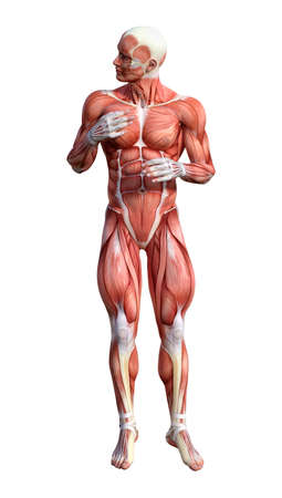 3D rendering of a male anatomy figure with muscles maps isolated on white background