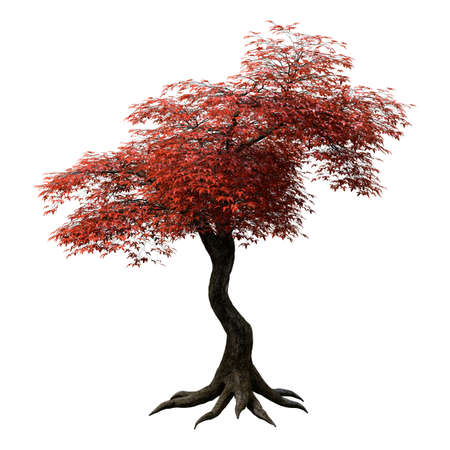 3D rendering of a red Japanese maple tree isolated on white background Archivio Fotografico - 92806502