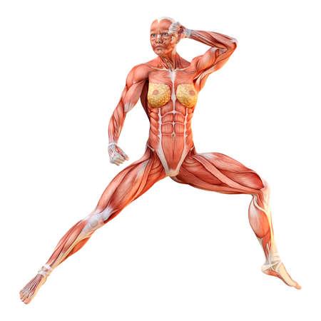 흰색 배경에 고립 된 근육지도와 여성 그림의 3D 렌더링 스톡 콘텐츠