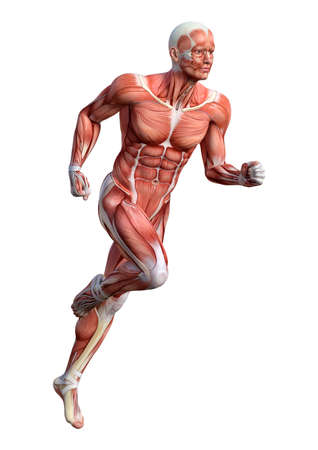 3D rendering of a male anatomy figure with muscles map exercising isolated on white background