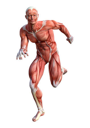 3D rendering of a male anatomy figure with muscles map swimming isolated on white background Standard-Bild