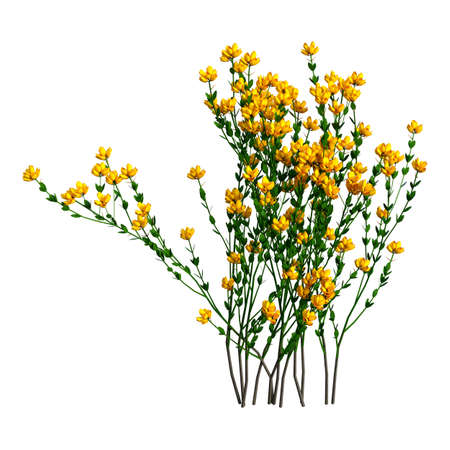 3D rendering of Genista hispanica flowers isolated on white background Stock Photo