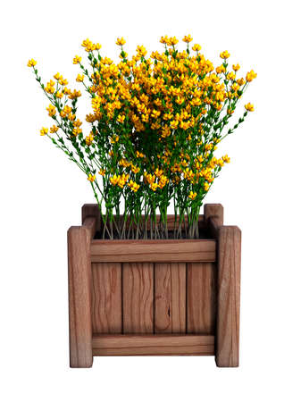 3D rendering of Genista hispanica flowers in a wooden planter isolated on white background