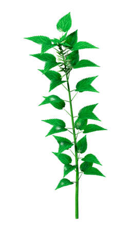3D rendering of a single Urtica dioica, or common nettle, or stinging nettle isolated on white background