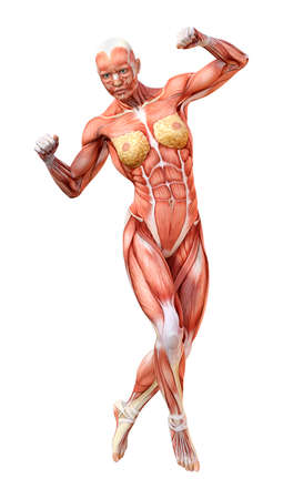 3D rendering of a female figure with muscle maps isolated on white background Stock Photo