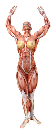 3D rendering of a female figure with muscle maps isolated on white background Фото со стока