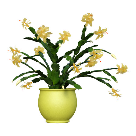 3D rendering of a yellow Christmas cactus in a flower pot isolated on white background Stock Photo