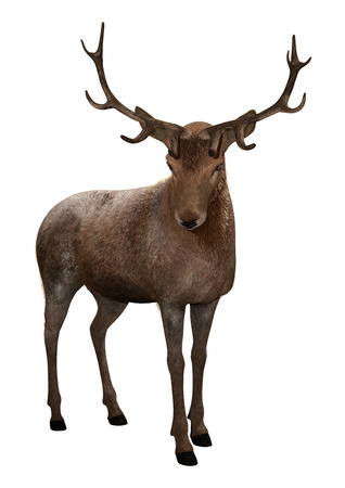 3D rendering of a male deer isolated on white background Reklamní fotografie