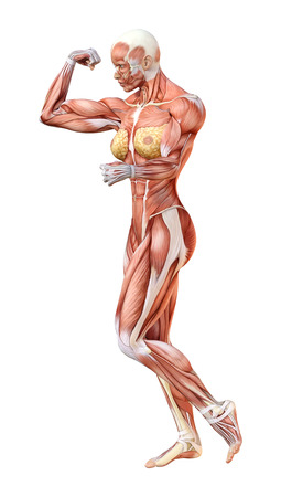 3D rendering of a female figure with muscle maps isolated on white background 版權商用圖片