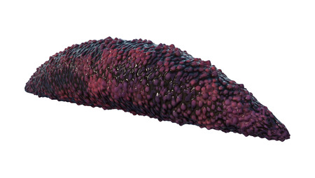 3D rendering of a worm holothurian or sea cucumbers  isolated on white background Stock Photo