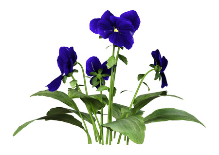 3D rendering of garden pansy flowers isolated on white background