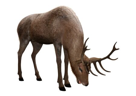 3D rendering of a male deer isolated on white background 스톡 콘텐츠