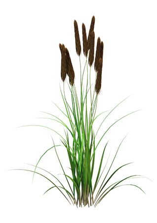 3D rendering of a bulrush plant isolated on white background