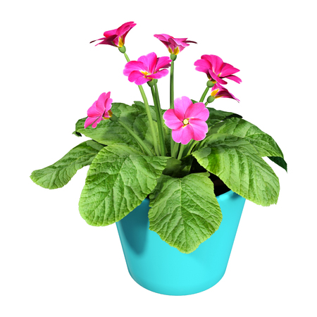 3D rendering of primrose flowers or Primula vulgaris isolated on white background 写真素材
