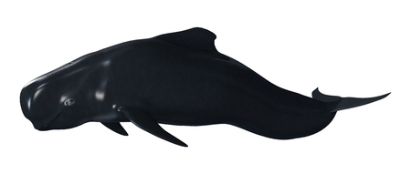 3D rendering of a pilot whale calf isolated on white background