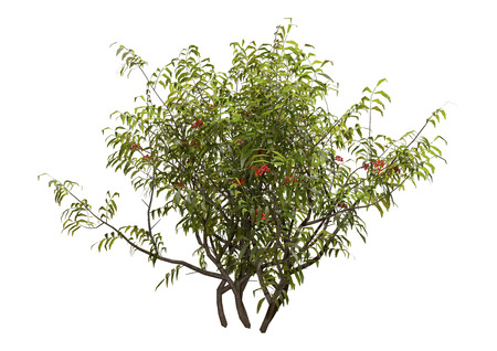 3D rendering of a green elderberry bush with red berries isolated on white background