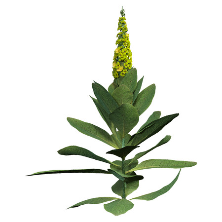 3D rendering of a common mullen or Verbascum thapsus plant isolated on white background
