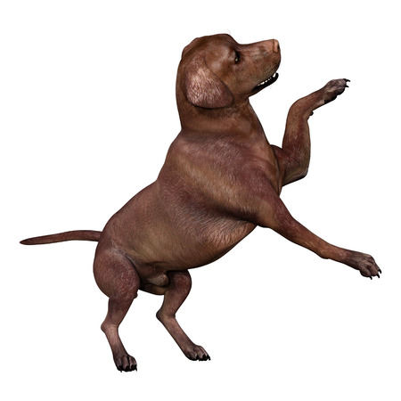 3D rendering of a brown labrador dog isolated on white background 版權商用圖片