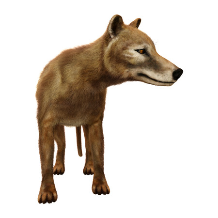 3D rendering of a thylacine isolated on white background 版權商用圖片