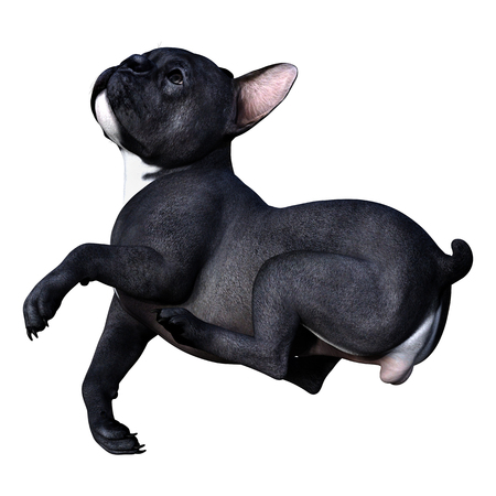 3D rendering of a black French bulldog isolated on white background 版權商用圖片