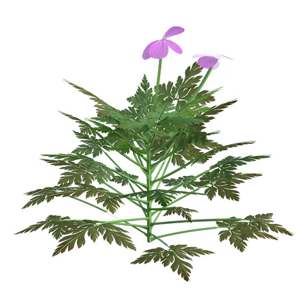 3D rendering of a Herb robert plant or Geranium robertianum or  Robertiella robertiana isolated on white background 版權商用圖片