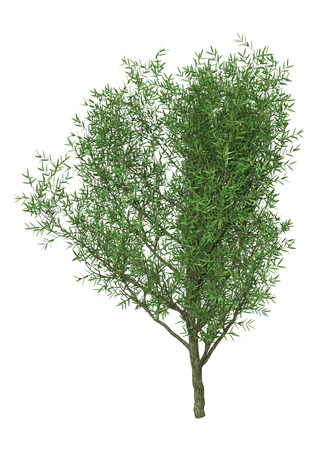 3D rendering of a crack willow or Salix fragilis or brittle willow isolated on white background 版權商用圖片